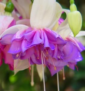 Фуксия, цветы в вашем доме