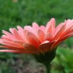Цветы в вашем доме: Маргаритка многолетняя
