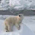 Белый медведь, к морякам за угощеньем