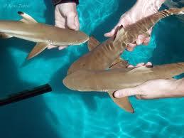 Акульи слезы, детеныши акул