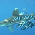 Акула и рыба-лоцман