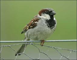 Воробей, птицы - синоптики