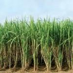 Сахарный тростник