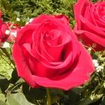 Роза, умывание настоем из трав