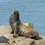 Морской лев, непрошеный гость